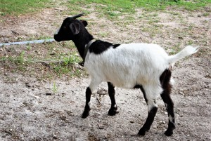 Goat_01_unattached